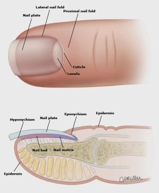 Nail-anatomy-3